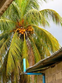 Coconut tree at the office of an NGO in Zanzibar Town