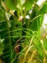 The green of unripe bananas.