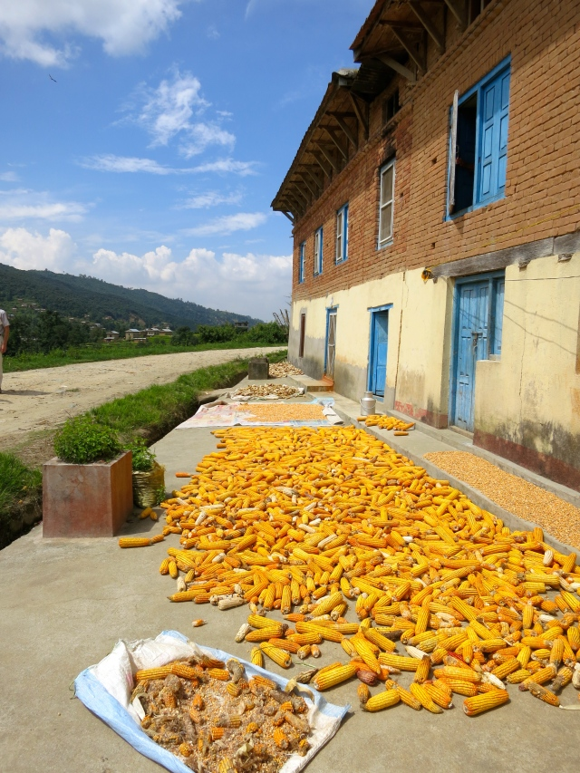 Corn drying in the sun.